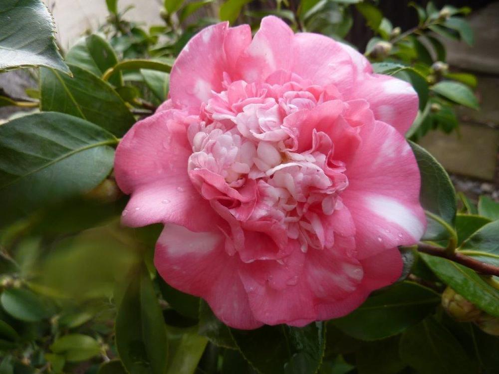 Camellia 'Elegans' variegated
