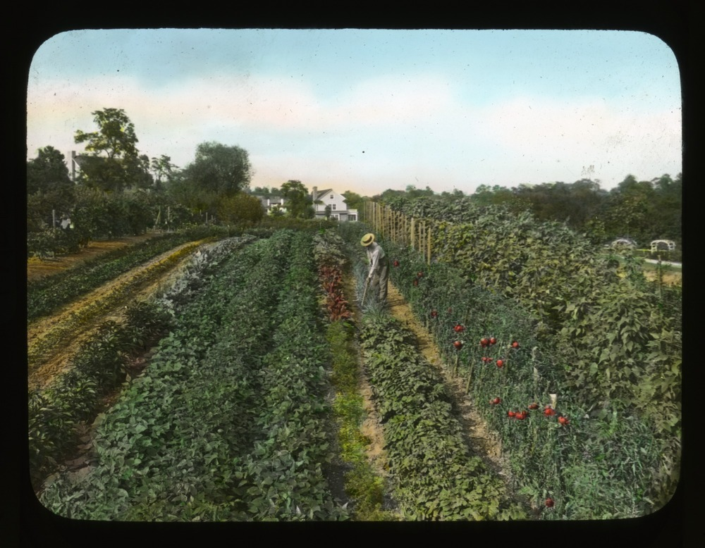 Man working in vegetable garden at Breeze Hill, circa 1930. Smithsonian Institution, Archives of American Gardens, J. Horace McFarland Collection.