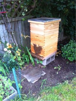 Beard on the hive entrance
