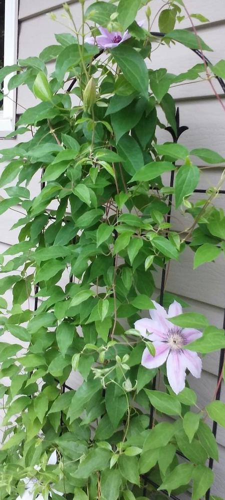 'Nelly Moser' clematis