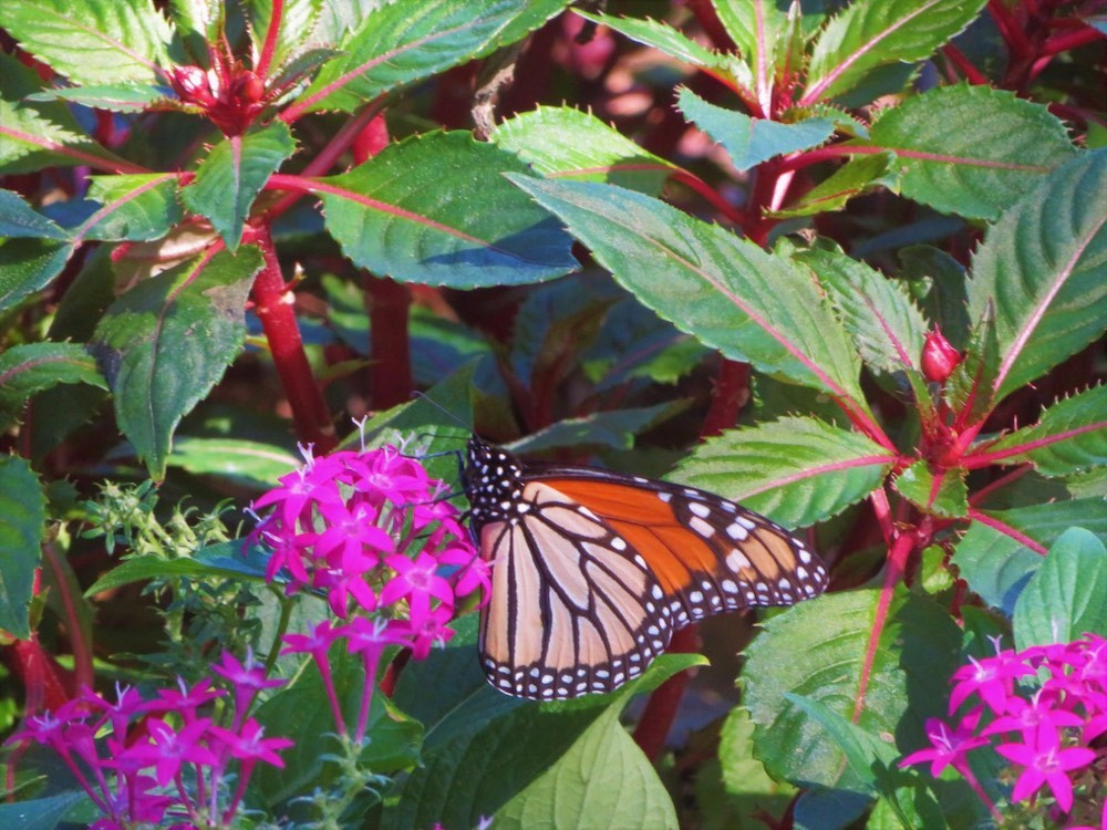 The garden is a designated Monarch Waystation