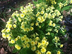 Cheery primrose blossoms in the Mays Garden in Ohio.