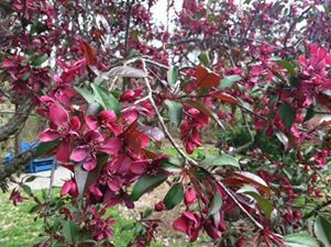 Colorful crabapple in the Mays Garden.