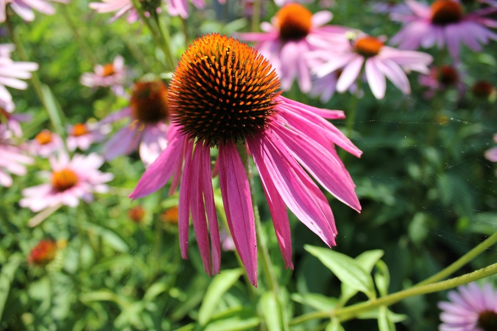 Coneflower adds beauty to the Green Thumbs Garden in Newark, Ohio, and attracts pollinators.