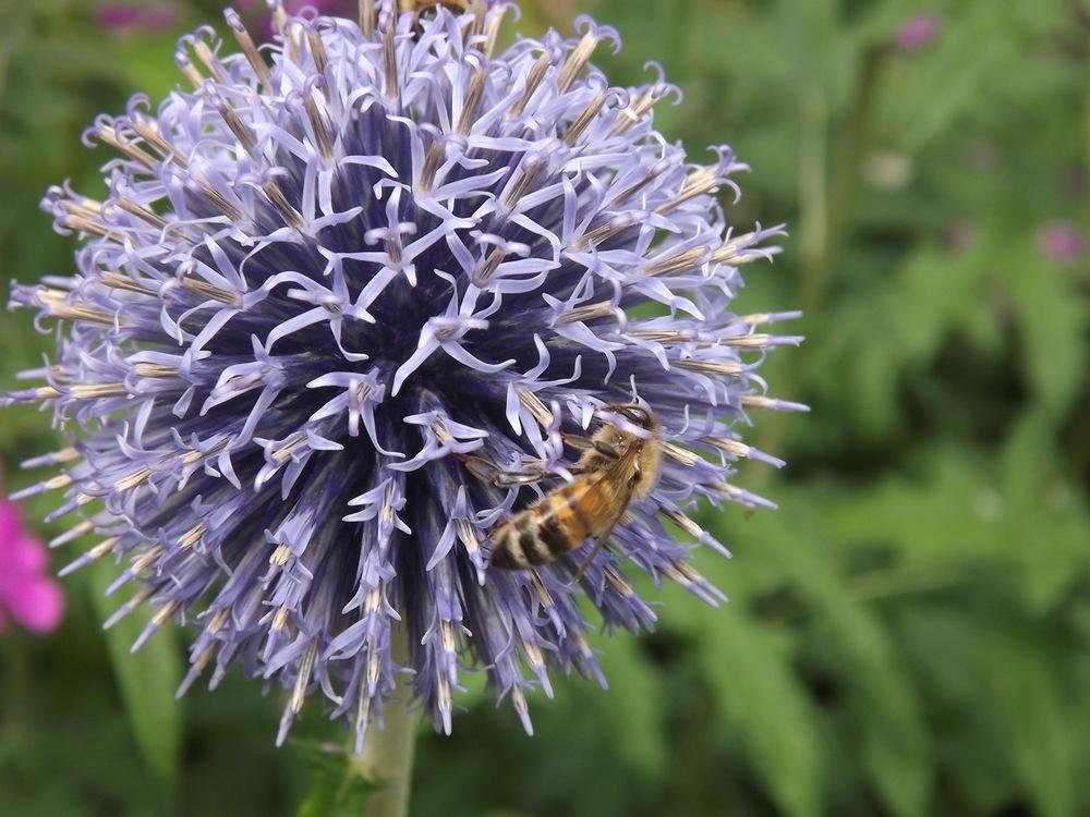 Honeybee on Echinops