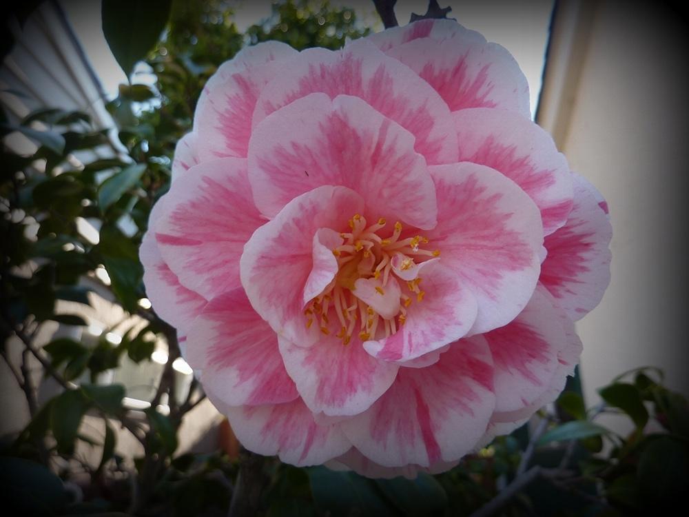 <em>C. japonica</em> 'Herme'