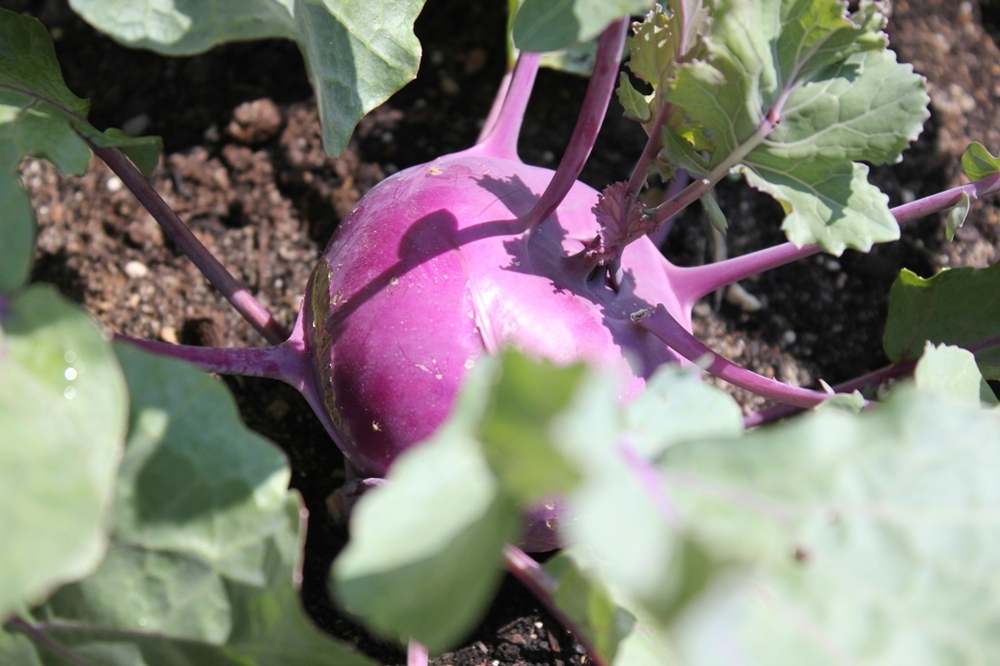 Purple kohlrabi is a bright sight in the Green Thumbs Garden at The Works: Ohio Center for History, Art & Technology in Newark, Ohio.