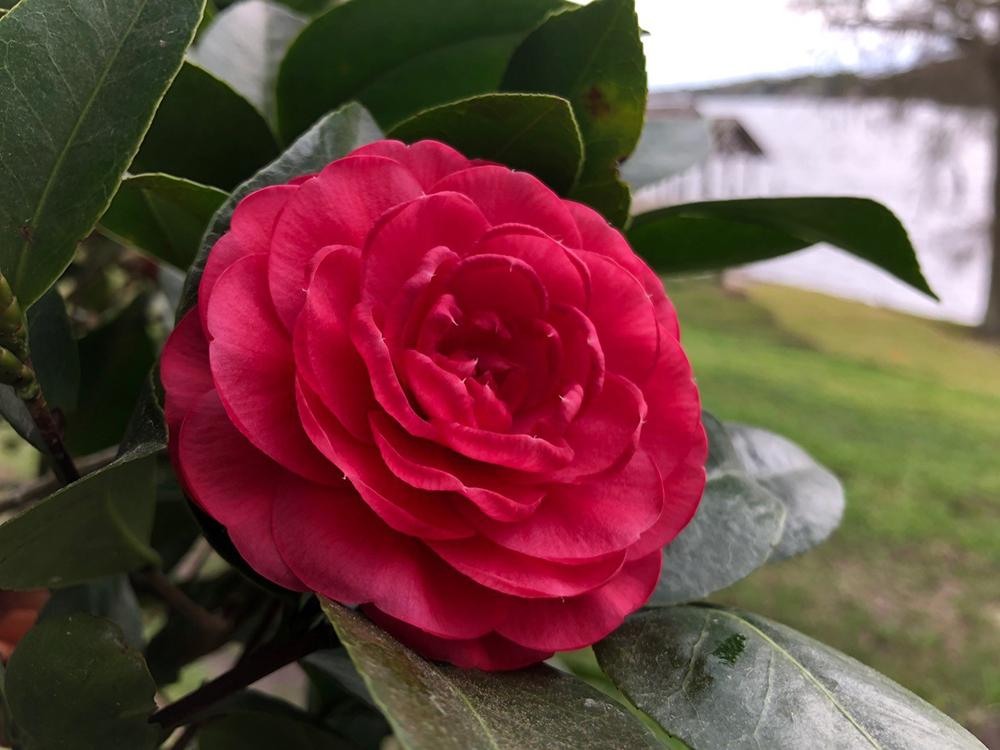 <em>Camellia japonica</em> 'Prince Eugene Napoleon'