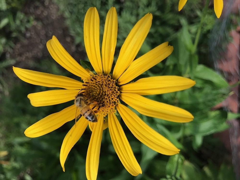 A bee atop an ox-eye sunflower