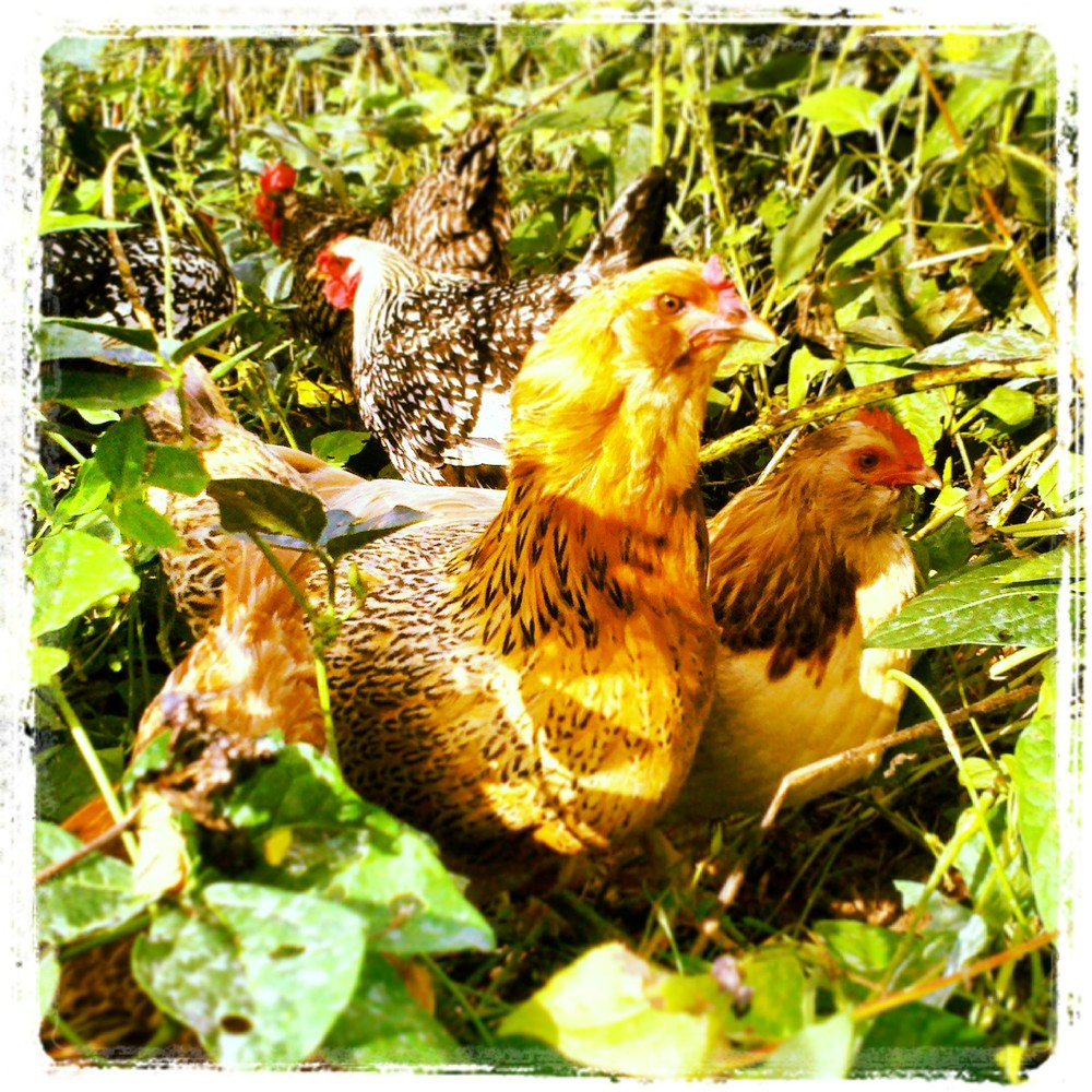 """The chickens (or the """"ladies"""" as garden manager Jenn calls them) at Well Fed Community Garden."""