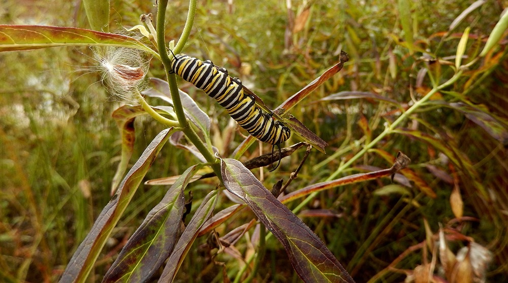 A monarch caterpillar