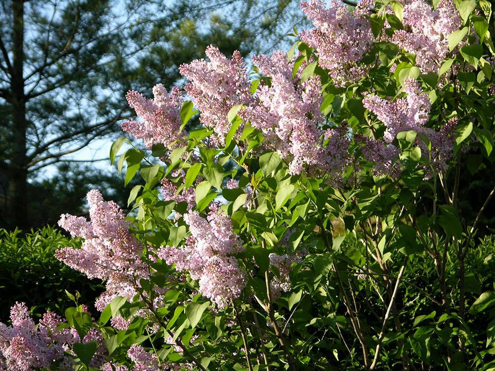 Lilacs in the backyard of my home in Iowa