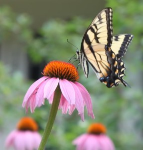 A swallowtail butterfly alights on a purple coneflower
