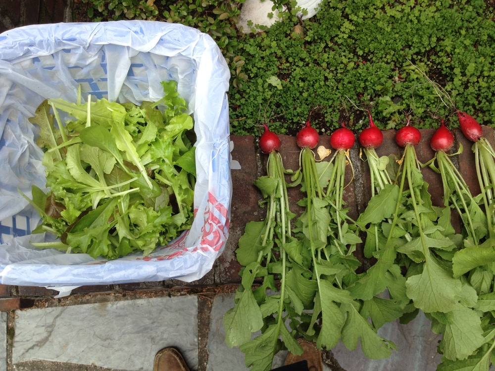 Radishes and lettuce newly harvested from the pallet garden, 2014.