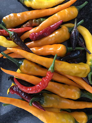 Colorful peppers from vegetable garden.