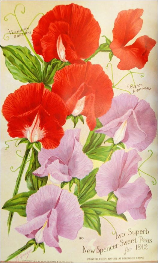 """""""Two Superb New Spencer Sweet Peas for 1912,"""" from Burpee's Annual for 1912. Sweet peas were a very popular flower in the 19th and early 20th centuries. Smithsonian Institution, Archives of American Gardens, W. Atlee Burpee & Company Collection."""