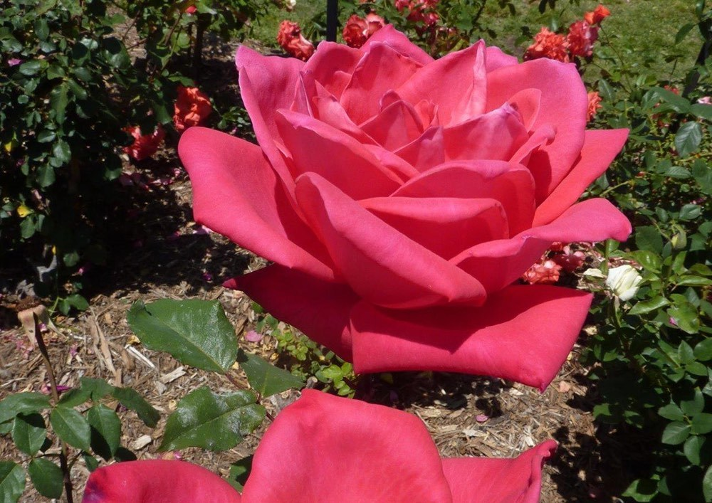 'Bob Hope' hybrid tea rose