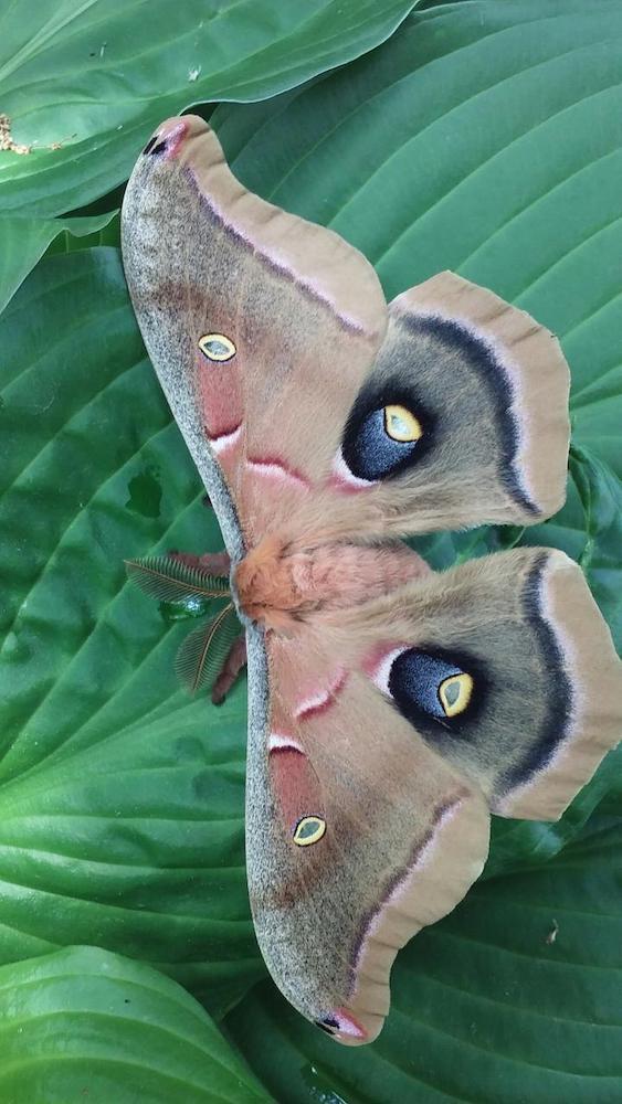 A polyphemus moth visits the garden