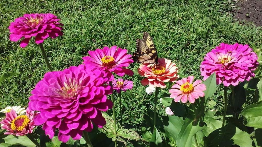 Zinnias in Shirley's garden