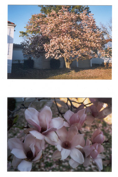 Beatrice's magnolia tree