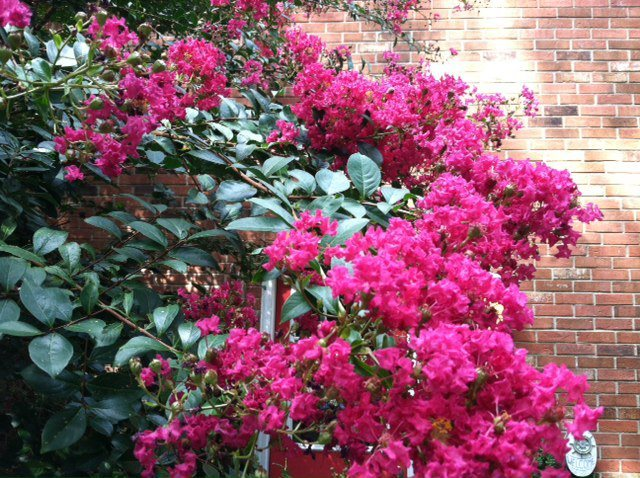 In the Mays Garden, Crapemyrtle provides a pop of color.