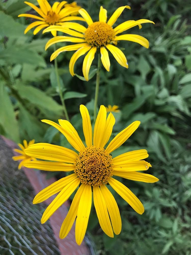 Ox-eye sunflowers in the garden