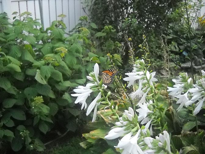 My monarch garden
