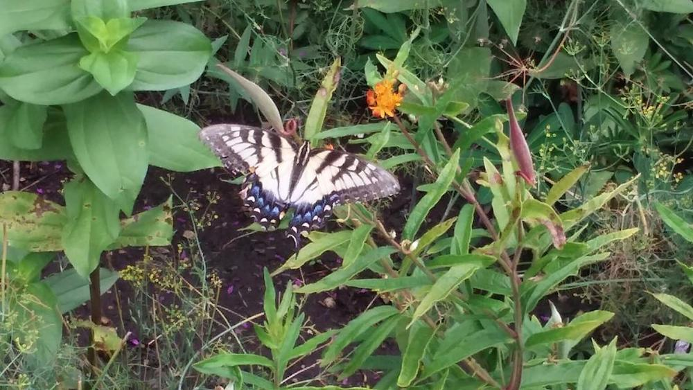 A butterfly in Shirley's garden