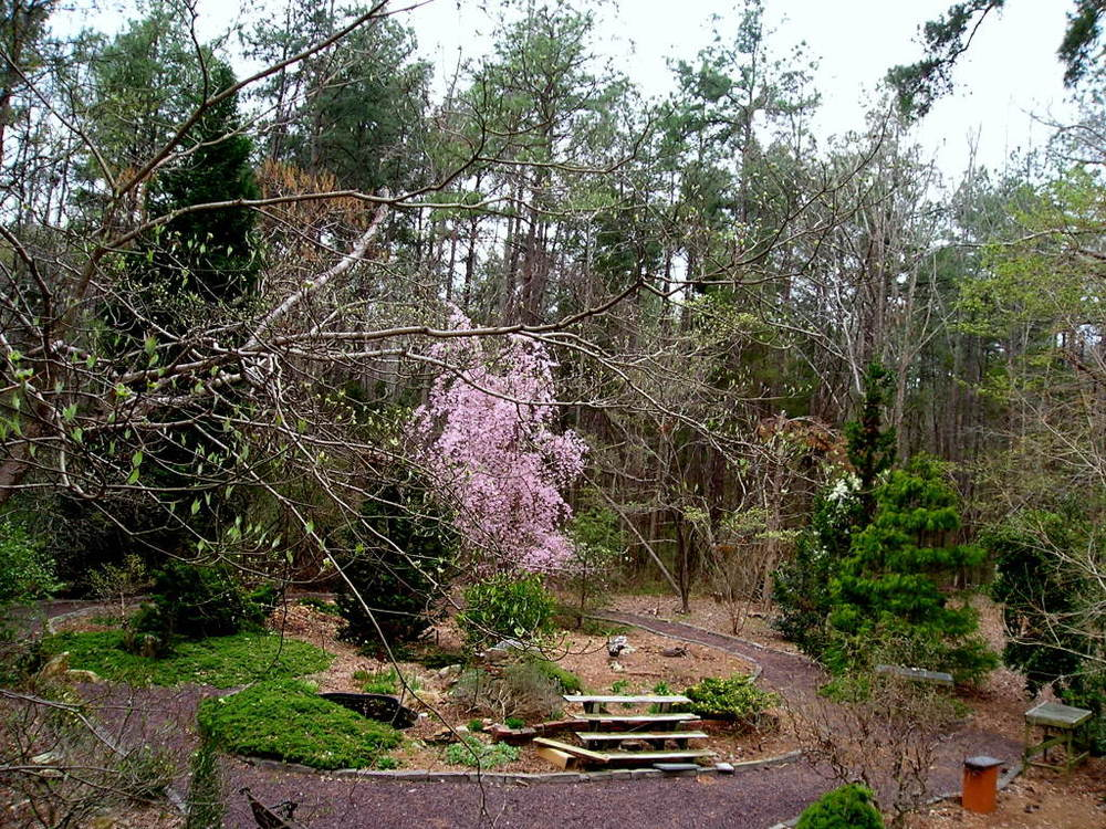 The pond garden, March 28, 2004. In the background, there is a weeping cherry tree  in full bloom; in the foreground, the branches of a dogwood appear, just beginning to leaf out.  Later in the season, the wooden benches will hold bonsai trees that overwinter in a small greenhouse.