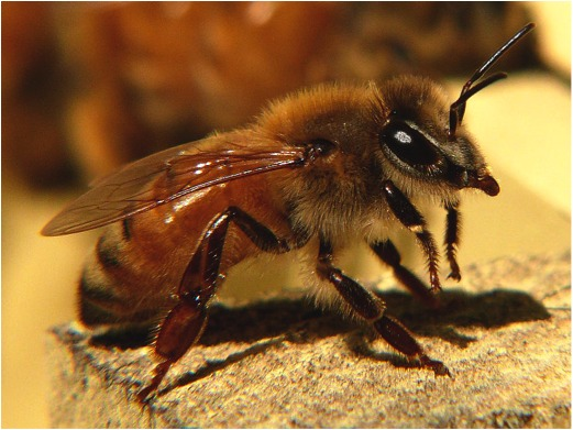 The Italian honey bee worker. Ken Thomas, photographer, 2008. Wikimedia Commons.