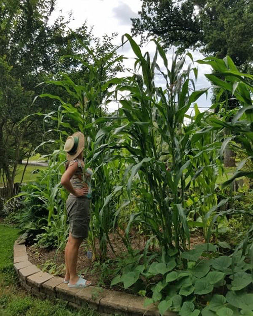 Shawnee Indian looking up at corn stalk grown in the summer popcorn garden.