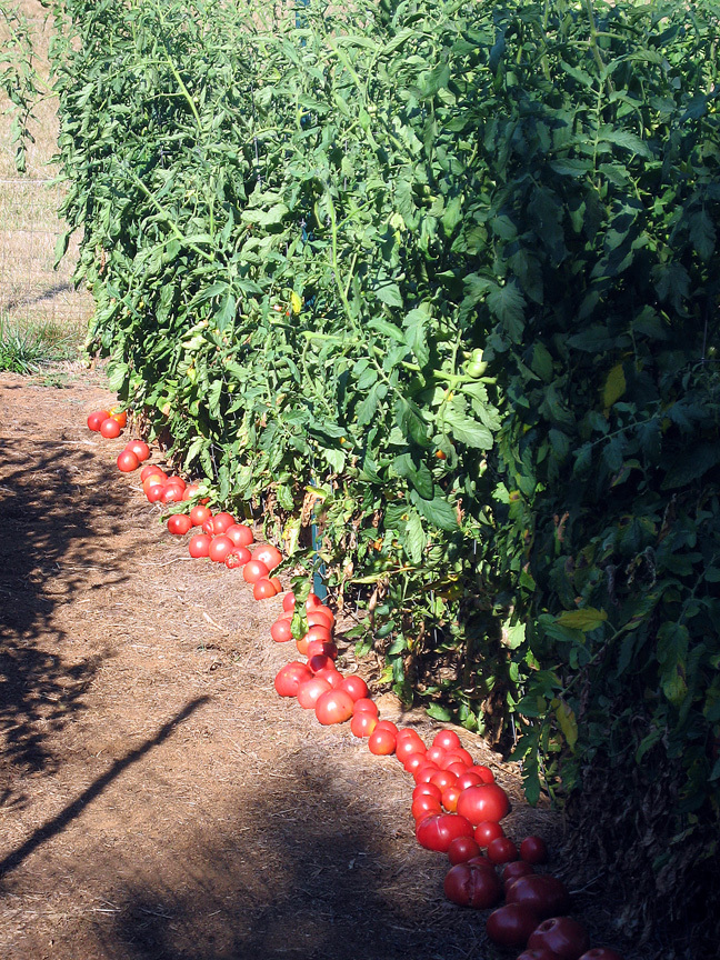 A bumper crop of 'Mortgage Lifter' tomatoes, summer 2008.