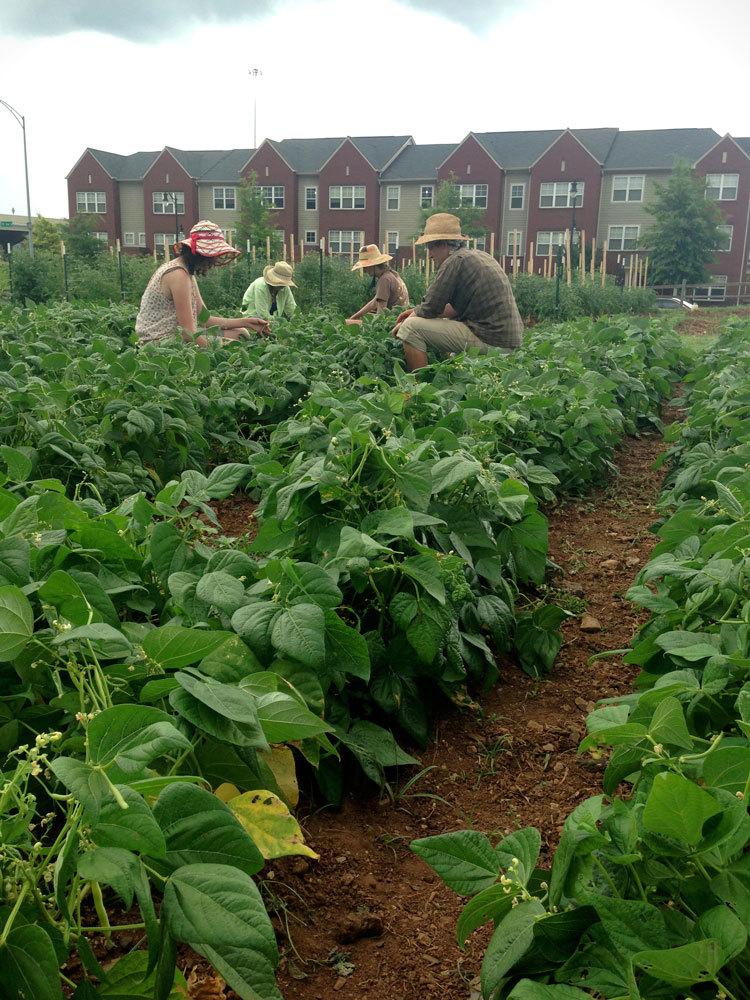 Tending the bean crop