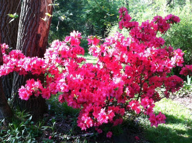 Red azaleas in the Mays Garden in Ohio.
