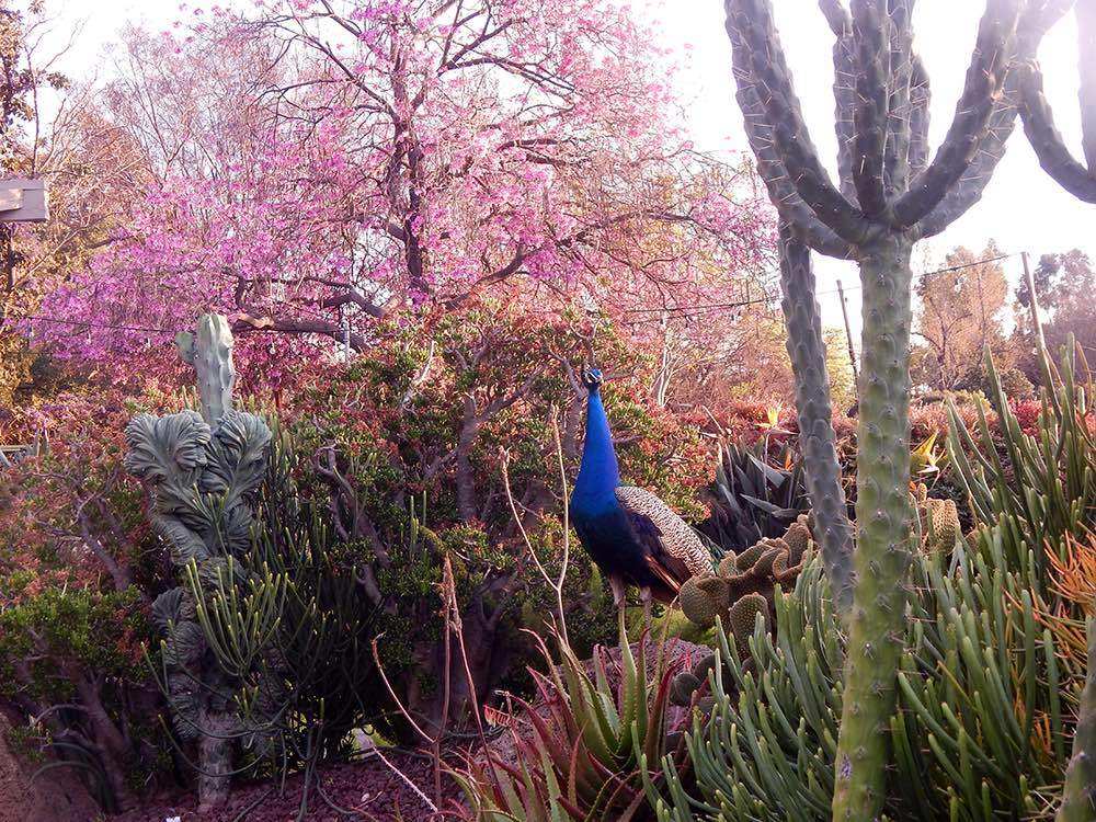 A peacock perched in the gardens