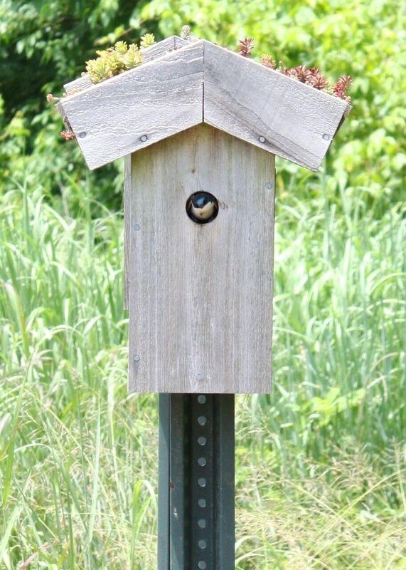 Tree swallow in a bluebird box
