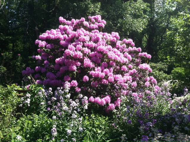 Rhododendron in full bloom in the Mays Garden.
