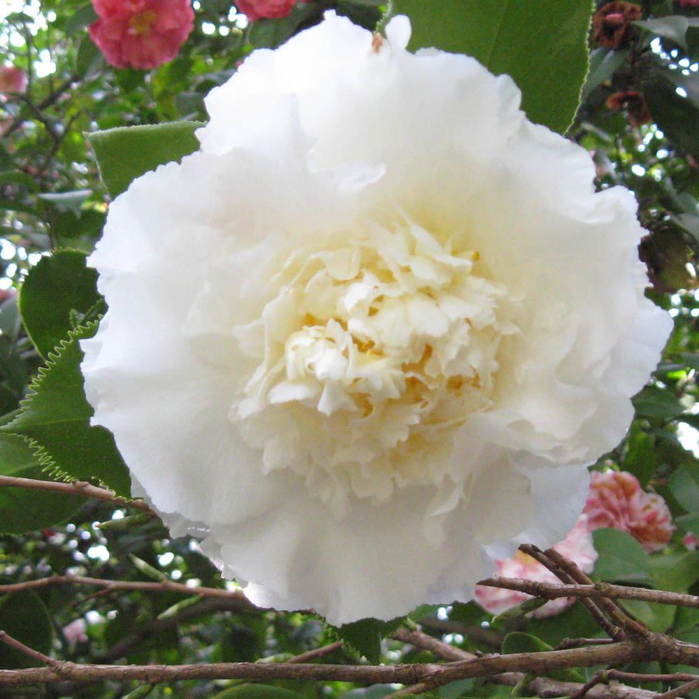 <em>Camellia japonica</em> 'Elegans Champagne'