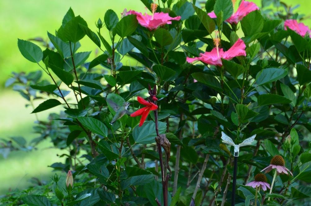 Ruby-throated hummingbird on canna