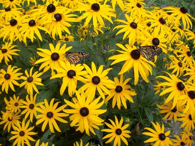 Black-eyed Susans provide nectar for traveling Monarch butterflies in this educational museum garden.