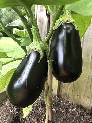 Eggplant from the vegetable garden.