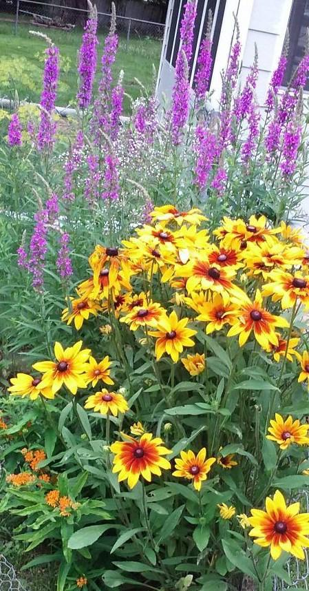 Black-eyed Susans and butterfly bush