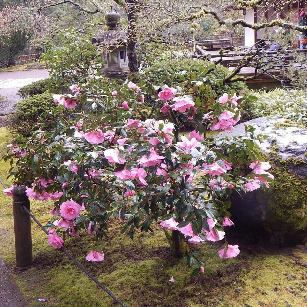 'Donation' camellia growing in the Portland Japanese Garden