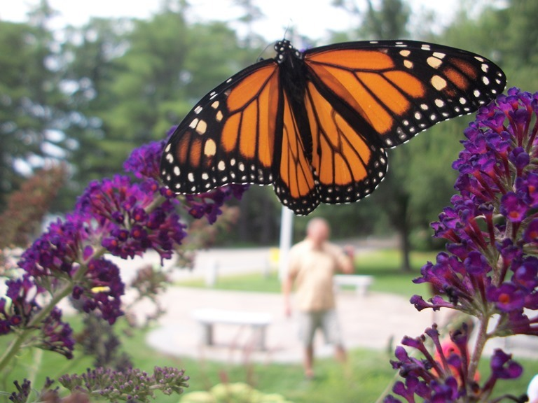 A Monarch butterfly visits the Butterfly Garden at the Libby Museum in Wolfboro, New Hampshire.
