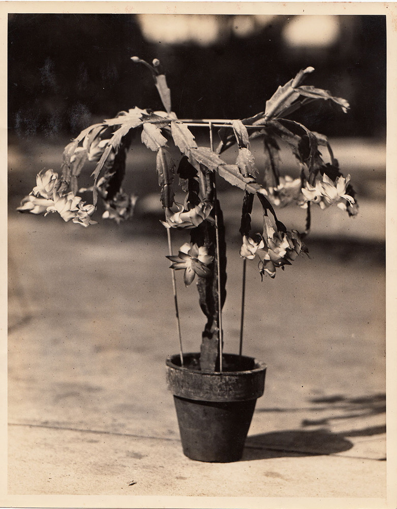 Christmas cactus grown in the Rosa Villa greenhouses with metal stand, early 20th century.