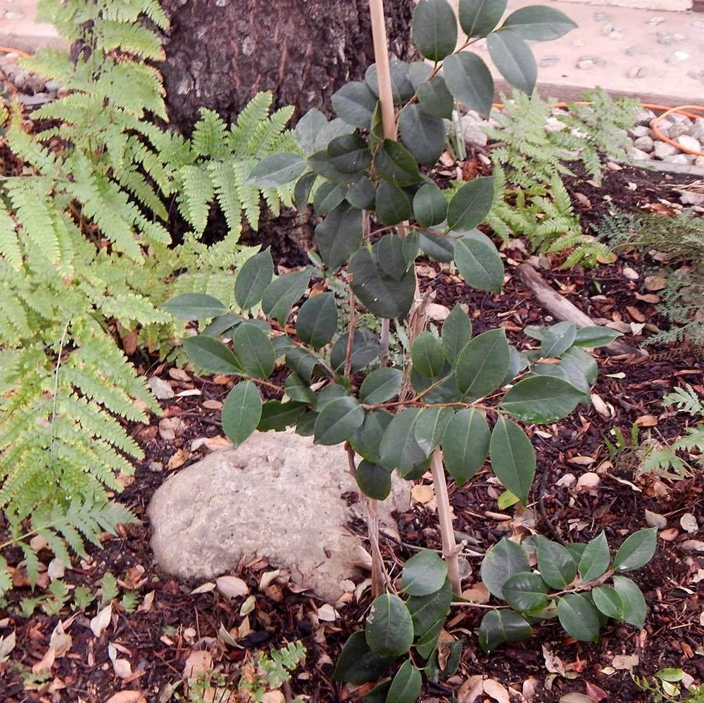 camellia-_japonica.jpg