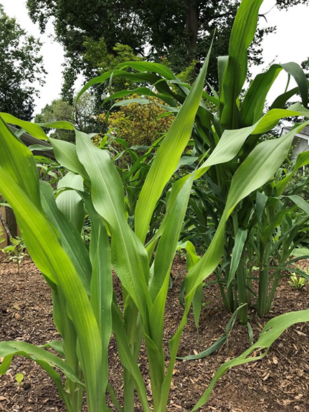 Corn stalks in the Popcorn Summer Garden.