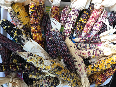 Colorful Corn harvest from the Popcorn Summer: Family Gardening with Indigenous Seeds
