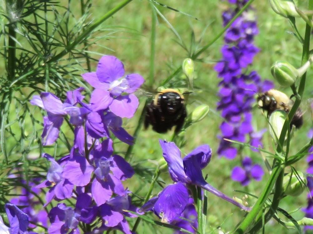 A bumblebee stops for a visit
