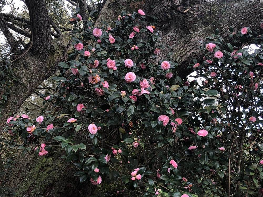 A massive camellia 'Pink Perfection'